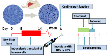 Hepatitis C - In Vivo Outline of Efficacy Study