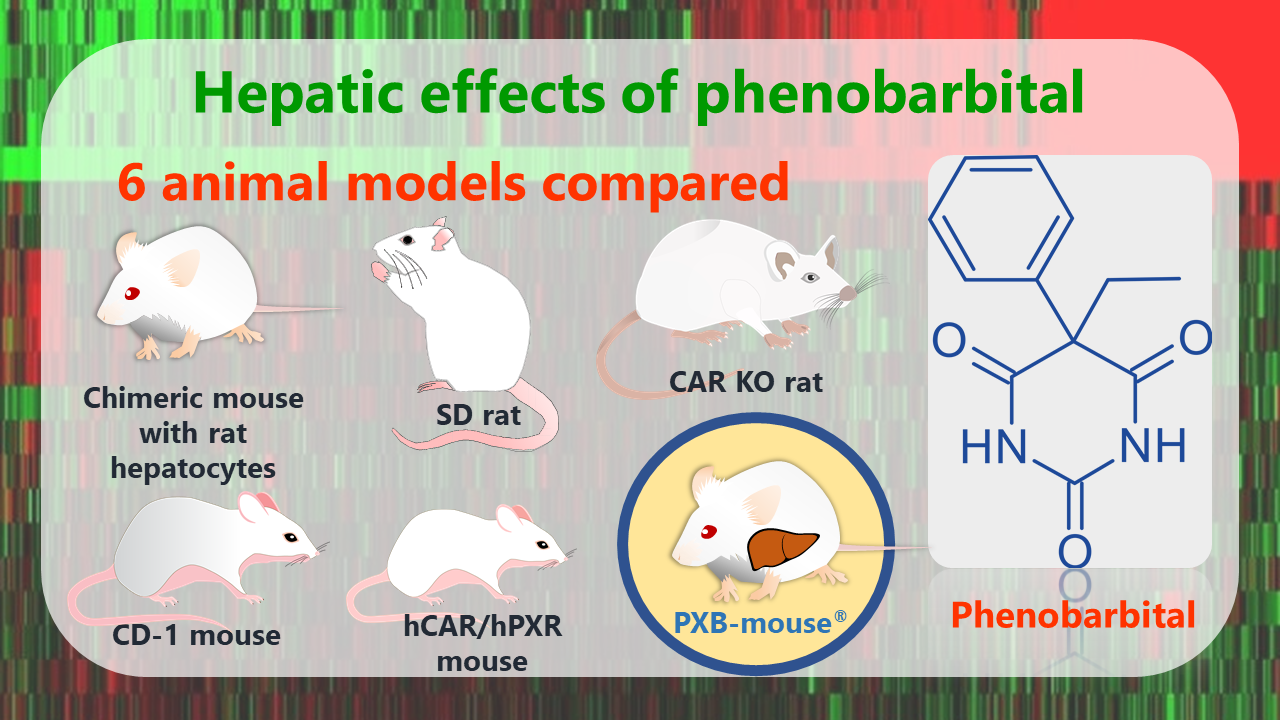 Hepatic effects of phenobarbital