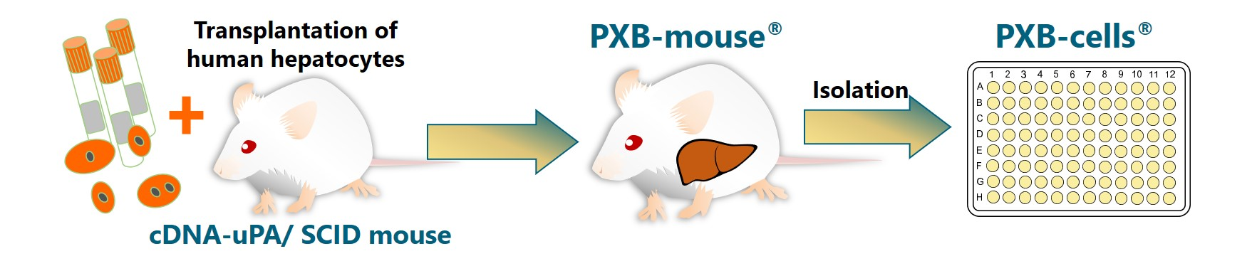 Non-alcoholic fatty liver like properties of PXB-cells_KMT website