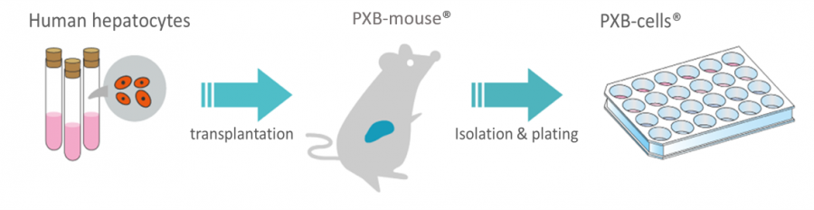PXB-cells - fresh human hepatocytes isolated from PXB-mouse