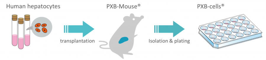PXB-cells isolation process